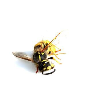 dead buzz