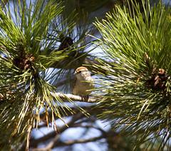 (ID'd:Chipping Sparrow)bird pine tree