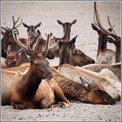 Red Deer [P6262565-160-8]