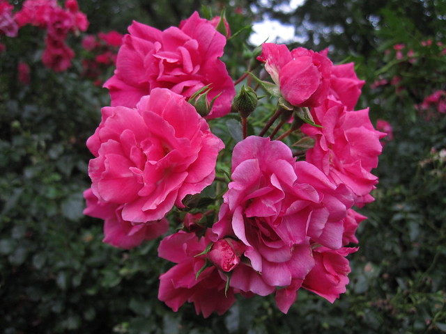 Looking vivid under a gray Brooklyn sky, Rosa 'Cupcake' blooms in the Plant Family Collection meadow. Photo by Rebecca Bullene.