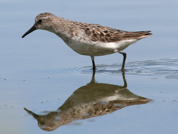 Photograph titled 'Semipalmated Sandpiper'