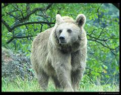 Bär / Bear
