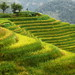 Harvest season is coming soon, Longsheng Rice Terrace, Guangxi, China 龍勝棚田