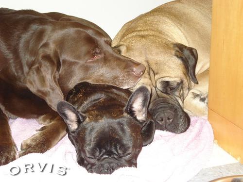 Orvis Cover Dog Contest - Dakota, Cooper and Dempsey