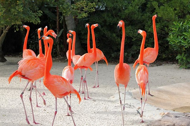 Group Of Flamingos 100
