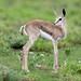 Springbok fawn