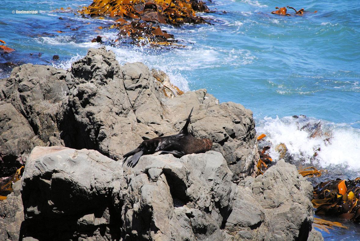 Hylje rannalla, Kaikoura, Uusi-Seelanti