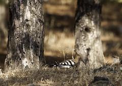 Hoopoe | Birding Lesvos