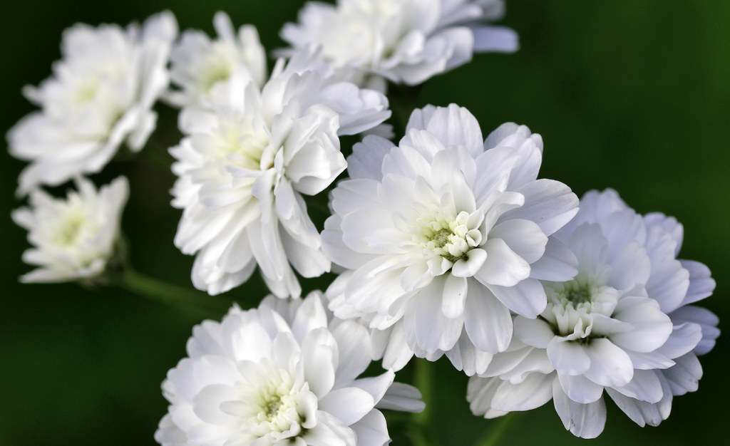 White flower with lots of petals image collections flower white flower with lots of petals choice image flower decoration ideas white petal flowers choice image mightylinksfo