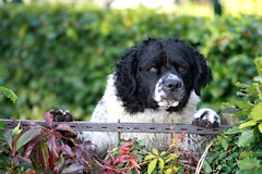 dog breed, animal, dog, pet, landseer, carnivoran,