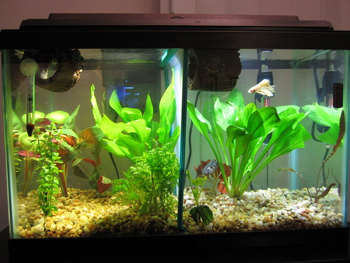 New 10 gallon divided betta tank for 2 gallon betta fish tank
