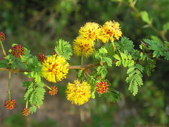 shrub(0.0), plant(0.0), produce(0.0), common tansy(0.0), evergreen(1.0), flower(1.0), mimosa(1.0), subshrub(1.0), herb(1.0), wildflower(1.0), flora(1.0),