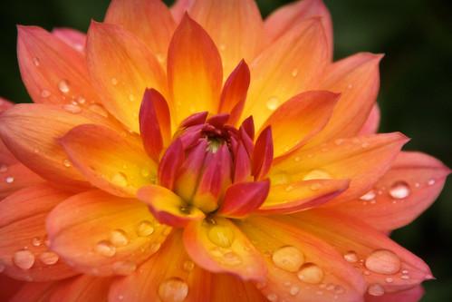 dahlia flower bridgeofflowers abigfave estremità