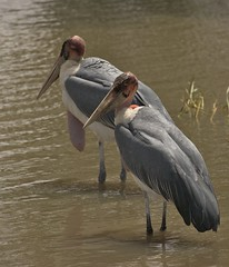 animal, pelican, wing, fauna, marabou stork, heron, shorebird, beak, bird, seabird, wildlife,