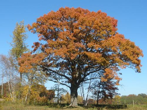 My Favorite Oak Tree in Autumn