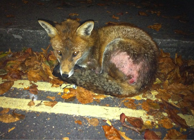 I'm sat 1 metre away from a young urban fox. I see him often - his mange gets worse. I will try & cure him.