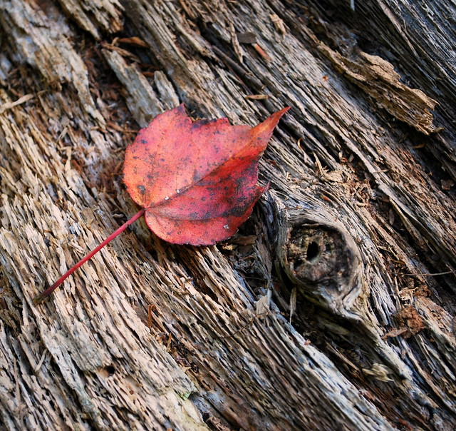 Arcadia - lone leaf
