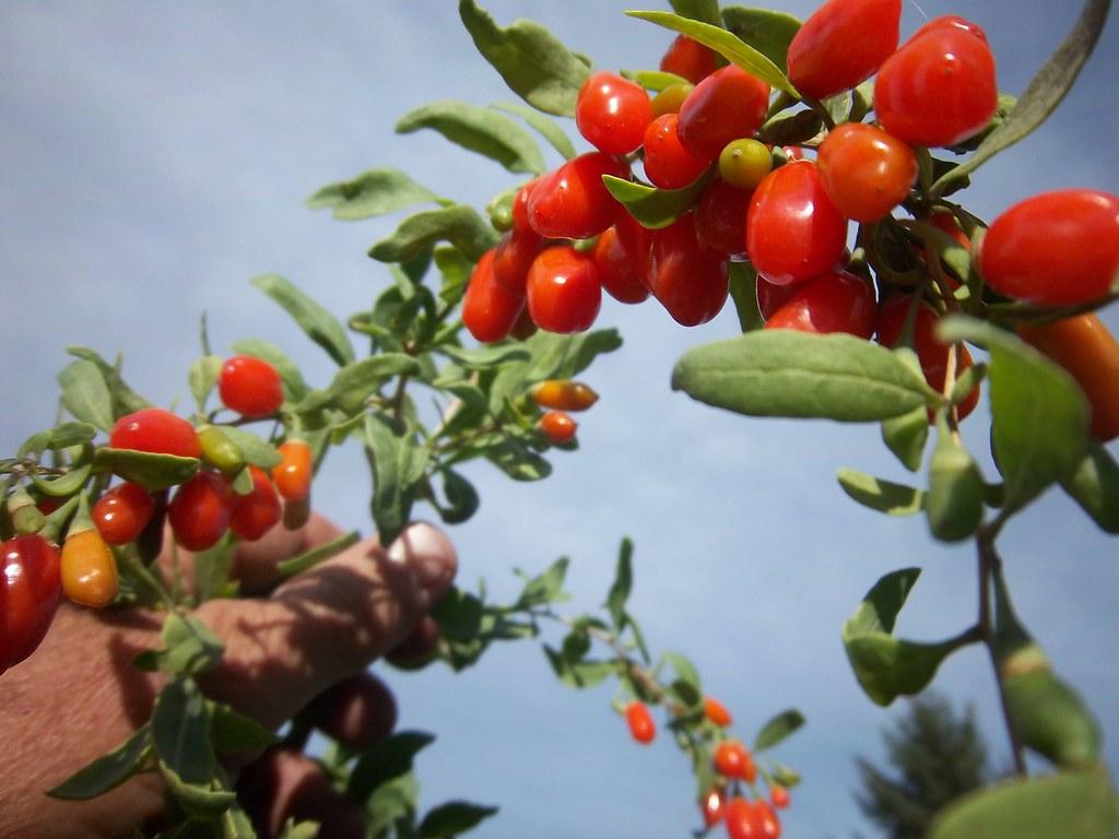 mongolian goji berries
