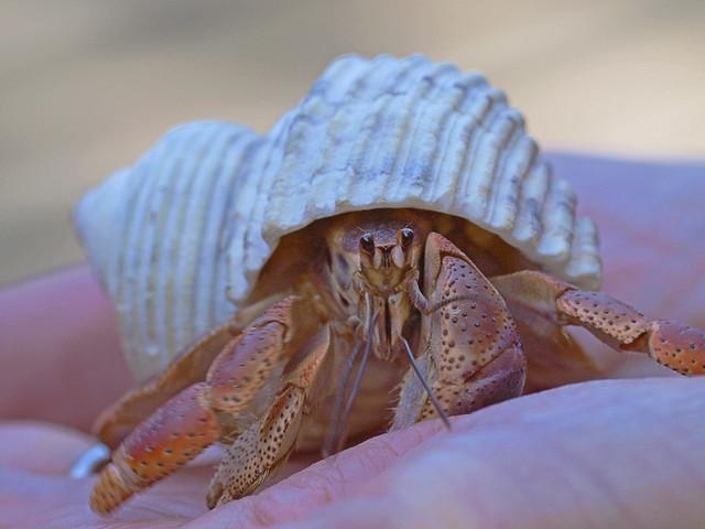 Purple Pincher Land Hermit Crab