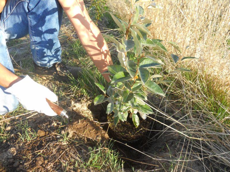 Plantando eleagno