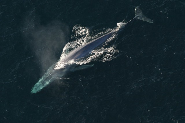 blue whale photographed from the air