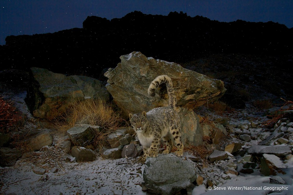 Snow leopard - Ladakh, India