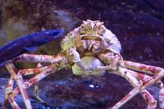 crab, animal, shellfish, crustacean, seafood, marine biology, invertebrate, macro photography, fauna,
