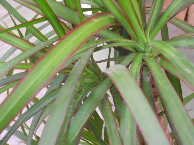 Dracaena marginata 'Magenta' 3