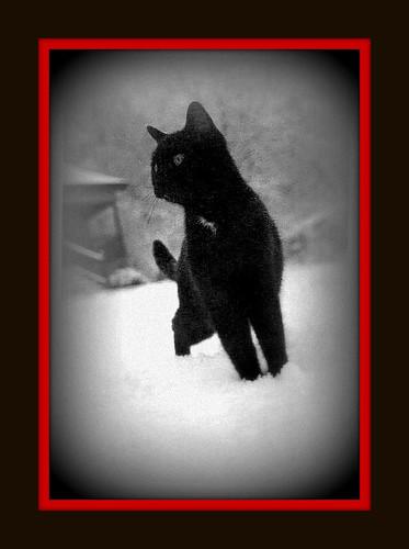 bw snow cat blackwhite md feline framed edited maryland frame cumberland wormseye alleganycounty hazenroad javcon117 frostphotos
