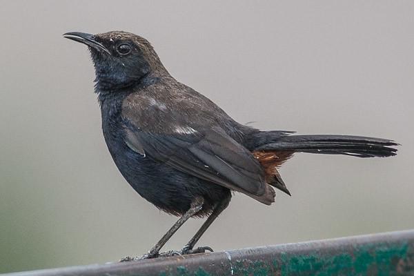 Indian Robin male