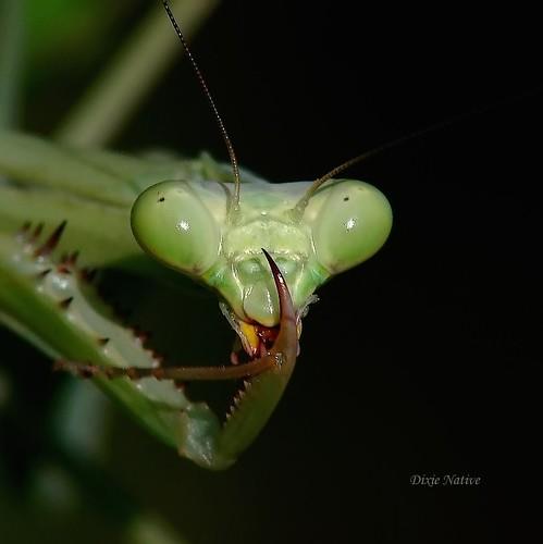 green mantis naturesfinest macroextreme supershot specnature mywinners anawesomeshot impressedbeauty ultimateshot flickrdiamond theunforgettablepictures macrolife ruby10