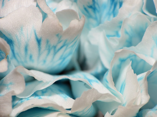 Blue-White Carnation