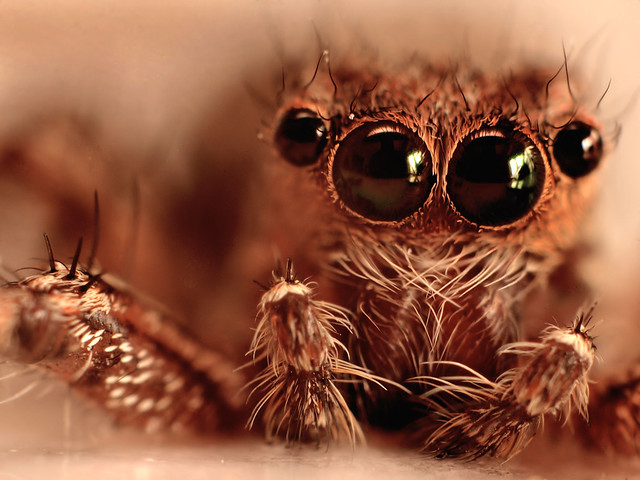 Do spiders have compound eyes??