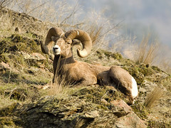 sheeps(0.0), animal(1.0), sheep(1.0), argali(1.0), mammal(1.0), barbary sheep(1.0), fauna(1.0), bighorn(1.0), safari(1.0), wildlife(1.0),
