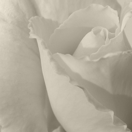 rose in sepia by shelle777 is lost without a computer :(