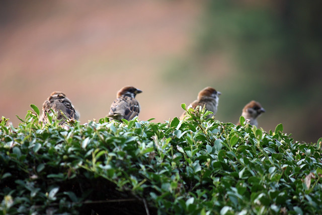 sparrow chattering