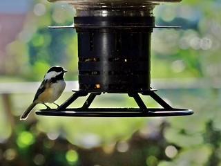Black-Capped Chickadee in Morning Light