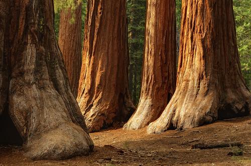 california nationalpark bachelor yosemite threegraces yosemitenationalpark mariposagrove sequoias wawona photomatix blendedexposures colorefex nikoncapturenx nikkor35mm nikond90 exposurefusion