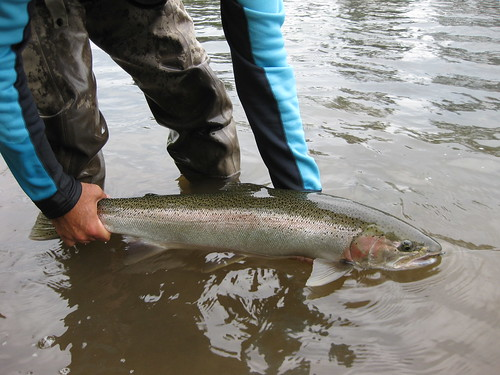 Local steelhead fishing report the caddis fly oregon for Willamette river fishing report
