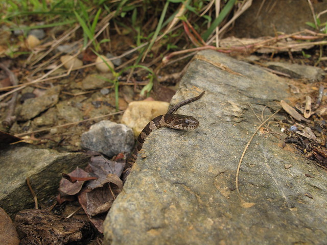 Baby northern water snake   Explore incuhead2000's photos ...