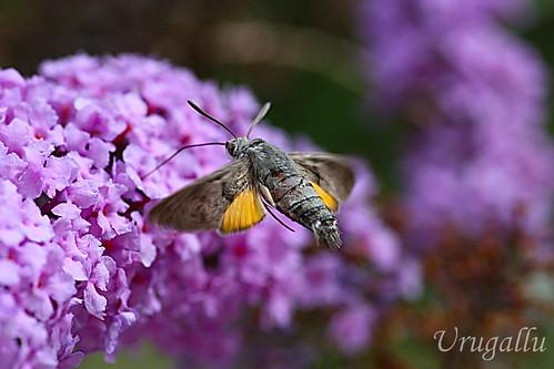 Esfinge colibri