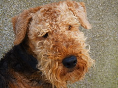 miniature poodle, dog breed, animal, dog, schnoodle, pet, glen of imaal terrier, mammal, lakeland terrier, welsh terrier, irish terrier, terrier, airedale terrier,
