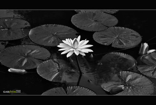 Water Lily in Monochrome