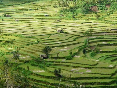 Arrozales en Bali (Indonesia)