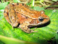 Northern red legged frog (Rana aurora aurora), species of concern