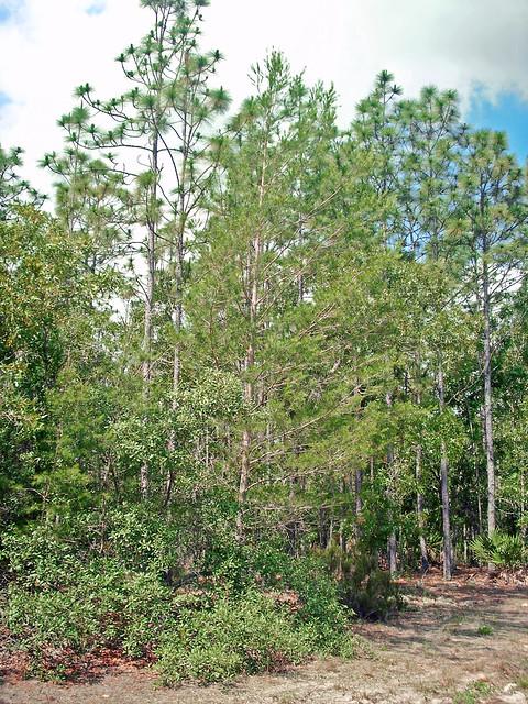 Pine And Oak Woodland Pine Ridge Pines And Scrub Oak