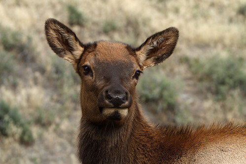 Juvenile elk calf - 2 of 4 in series