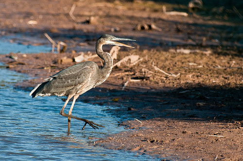 Great Blue Heron-5933