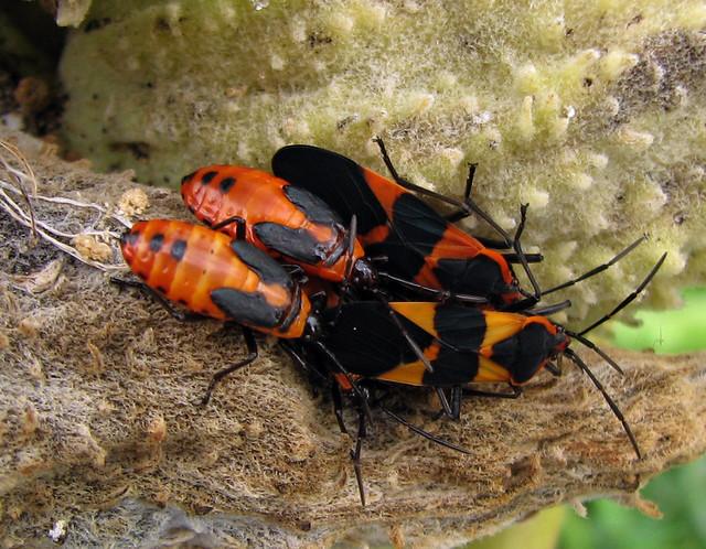 black and orange milkweed bugs flickr photo sharing. Black Bedroom Furniture Sets. Home Design Ideas