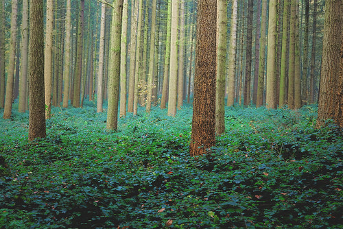 trees tree pinetree pine nikon pin arboretum tervuren tervueren jezuseik 25faves d40x notredameaubois vanagram